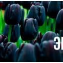 """Тюльпан """"Cafe Noir"""" 3шт в упаковке (размер 11\12)"""